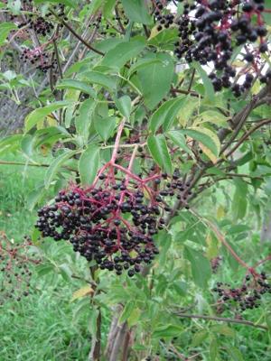 We need to get the elderberries before the birds do.