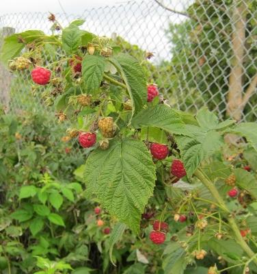 Delicious raspberries.