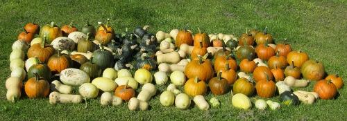 Our Squash Harvest