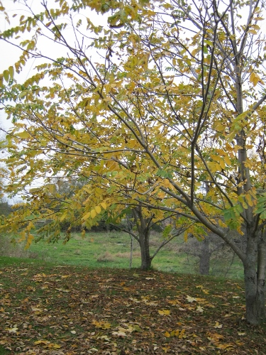 These butternut trees are just beginning to drop their leaves.