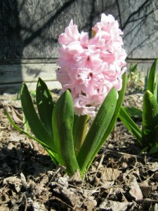 A hyacinth I did not take the time to smell this spring.
