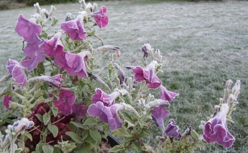 Petunias, rimmed with frost.