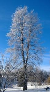 Winter tree (273x500)
